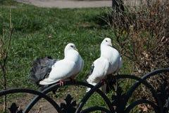 两在篱芭的白色鸠 免版税图库摄影