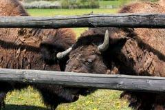 两在篱芭附近的北美野牛 库存照片