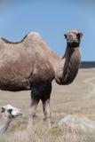 两在背景小山的骆驼 库存图片