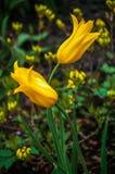 两在花床背景的黄色郁金香开花  免版税图库摄影