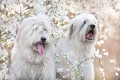 两在花的南俄国护羊狗 库存照片