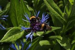 两在花矢车菊的土蜂 免版税图库摄影