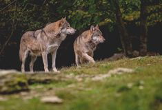 两在草甸的狼在树前面 库存照片