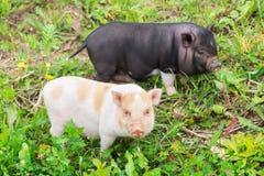 两在草的营养充足猪步行 免版税库存图片