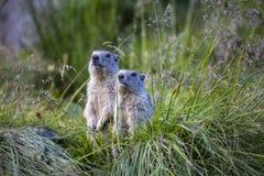 两在草的高山土拨鼠早獭早獭 免版税图库摄影