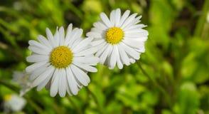 两在草背景的雏菊 免版税图库摄影