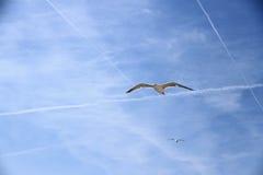 两在蓝天的海鸥 免版税库存图片