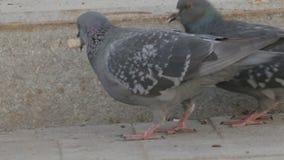 两在街道上的鸽子 影视素材