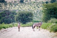 两在路的大羚羊 库存图片