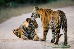 两在路的野生老虎 印度 17 2010年bandhavgarh bandhavgarth地区大象印度madhya行军国家公园pradesh乘驾umaria 中央邦 免版税库存照片