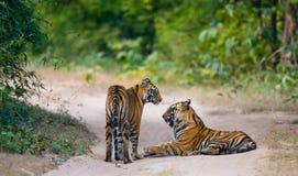 两在路的野生老虎 印度 17 2010年bandhavgarh bandhavgarth地区大象印度madhya行军国家公园pradesh乘驾umaria 中央邦 库存照片