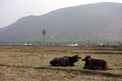 两在领域的水牛休息 库存照片