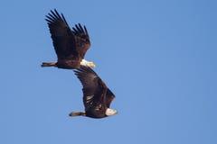 两在飞行中美国秃头老鹰乐队 免版税库存图片