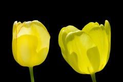 两在黑背景隔绝的黄色郁金香 免版税库存图片