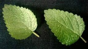 两在黑织品背景的薄荷的叶子 库存照片