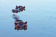 3432- 两在水池的河马 免版税库存照片