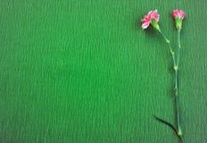 两在绿色背景的桃红色康乃馨 库存照片