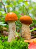 两在绿色青苔中的年轻可食的森林蘑菇橙色盖帽牛肝菌蕈类和在秋天森林里烘干叶子 免版税库存照片