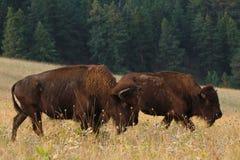 两在Great Plains的北美野牛水牛在有森林的蒙大拿在背景中 免版税图库摄影