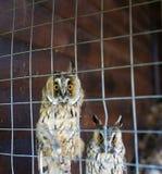 两坐在笼子的大猫头鹰 库存照片