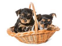 两坐在篮子的一点约克夏狗小狗 库存照片