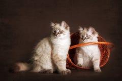 两坐在篮子的逗人喜爱的小猫内娃化妆舞会,偷看o 库存照片