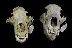 两块不同熊头骨 库存照片