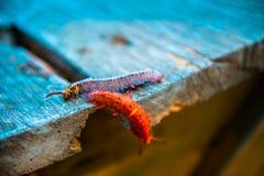 两多彩多姿的毛虫 库存图片