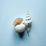 两大海洋壳 免版税库存照片