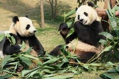 两大熊猫吃 免版税库存照片