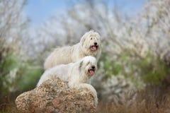两大白色狗 免版税图库摄影