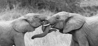 两大象招呼富感情与卷曲和感人的树干 免版税库存图片
