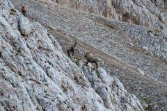 两大高地山羊战斗 库存图片