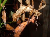 两大Extatosoma tiaratum 库存照片