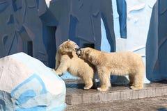 两头北极熊关系在笼子的 免版税库存图片