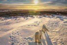 两头北极熊在他们的自然生态环境 免版税图库摄影