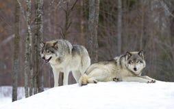 两头北美灰狼站立在冬天雪的天狼犬座 库存照片