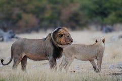两头友好的狮子, etosha nationalpark,纳米比亚 库存图片