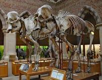两头古老大象的骨骼在牛津自然历史博物馆的 免版税库存照片