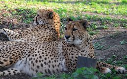 两头基于的亚洲猎豹猎豹属jubatus venaticus 免版税库存照片
