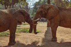 两头大棕色非洲大草原大象 免版税库存照片