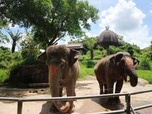 两头大象在动物园里 免版税库存照片