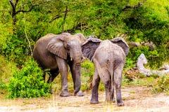 两头大象战斗在Olifantdrinkgat的,在Skukuza休宿所附近的一个水坑,在克留格尔国家公园 库存图片