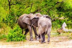 两头大象战斗在Olifantdrinkgat的,在Skukuza休宿所附近的一个水坑,在克留格尔国家公园 图库摄影