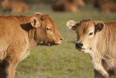 两头小小牛在一个绿色草甸 库存图片