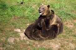 两头年轻棕熊使用 库存图片