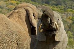两头年轻男性大象使用 图库摄影