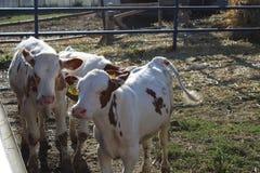 两头幼小母牛在牧场地站立在一好日子 库存图片