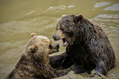 两头成人棕熊,熊属类arctos,管闲事在泥泞的水中 库存图片