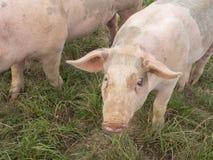 两头桃红色猪 免版税图库摄影